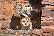 A barn owlet flexes it wings in its nest in the ruins of Abo Mission Church, Salinas National Monument, New Mexico,