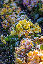 Polyanthus 'Stella Champagne' F1 with frost