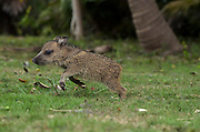 Collared peccary baby (Pecari tajacu)<br /> Belize,<br /> Central America<br /> captive