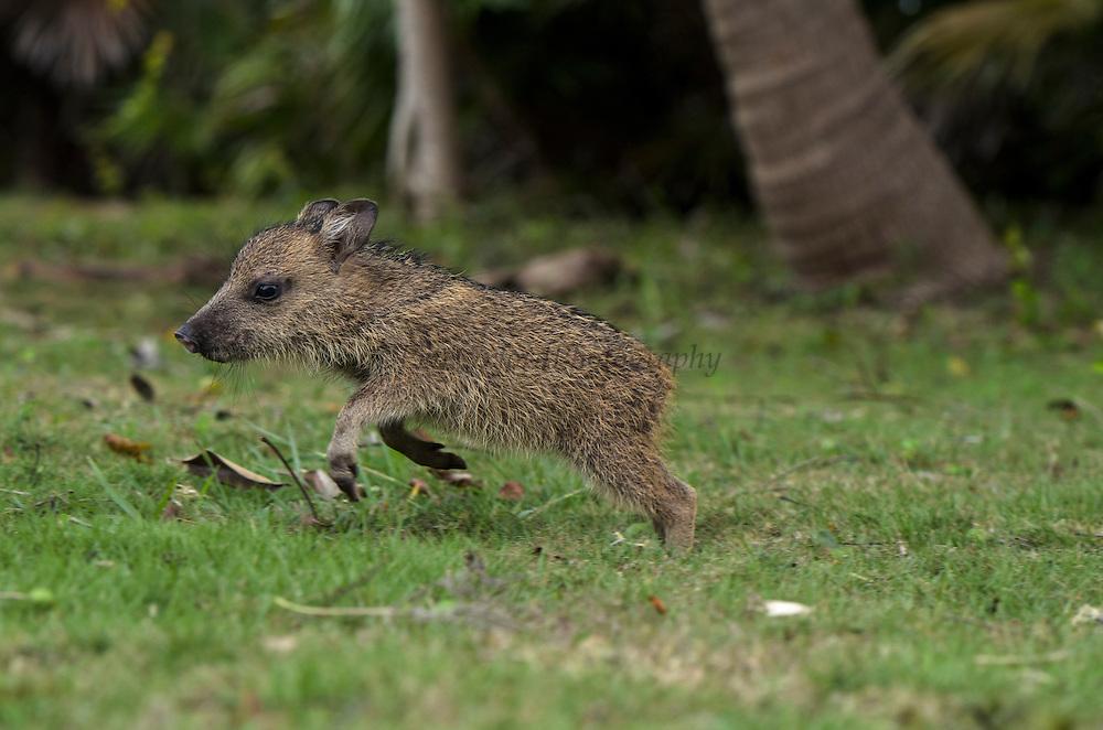Collared peccary baby (Pecari tajacu)<br /> Belize,<br /> Central America<br /> captive