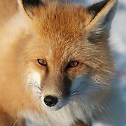 Red fox (Vulpes vulpes) near Churchill, Manitoba, Canada.