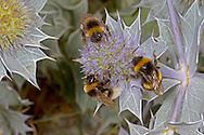 Vestal Cuckoo Bumblebee -  Bombus vestalis (left and top) with Bombus terrestris or lucorum on Sea Holly.