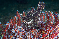 A Filefish tries to hide in the arms of a Crinoid<br /> <br /> <br /> Shot in Indonesia