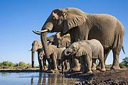 African Elephant<br /> Loxodonta africana<br /> Herd at waterhole<br /> Mashatu Game Reserve, Botswana