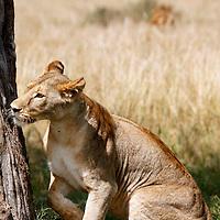 Africa, Kenya, Maasai Mara. A female lion prepares to climb a tree.
