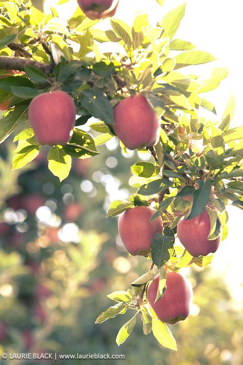 Ripe apples on trees.