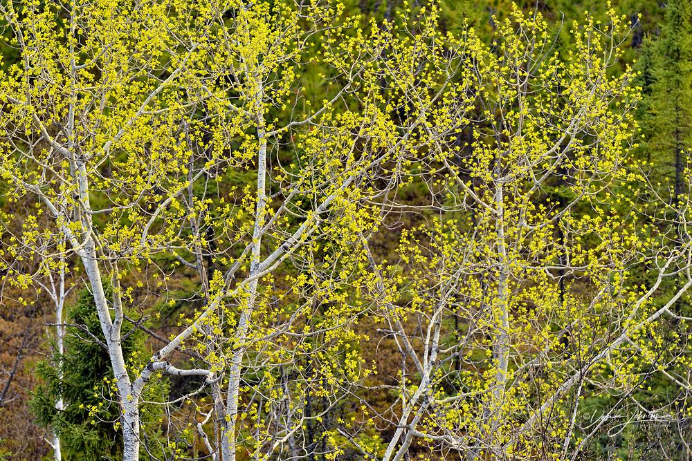 Aspen trees with emerging spring foliage, Greater Sudbury, Ontario, Canada