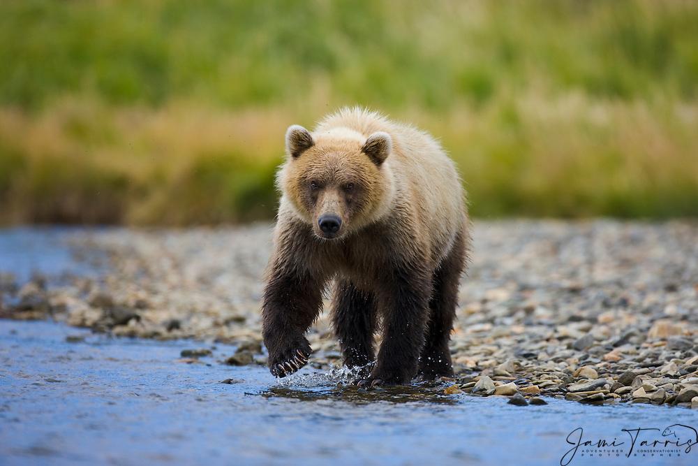 A coastal brown bear ( Ursus arctos ) walking into the water to fish, Katmai Peninsula, Alaska