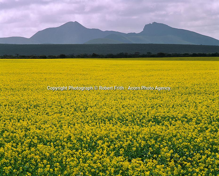 Canola crop with the Porongorup Range