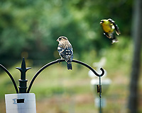 Rose-breasted Grosbeak, American Goldfinch. Image taken with a Nikon D850 camera and 200 mm f/2 VR lens