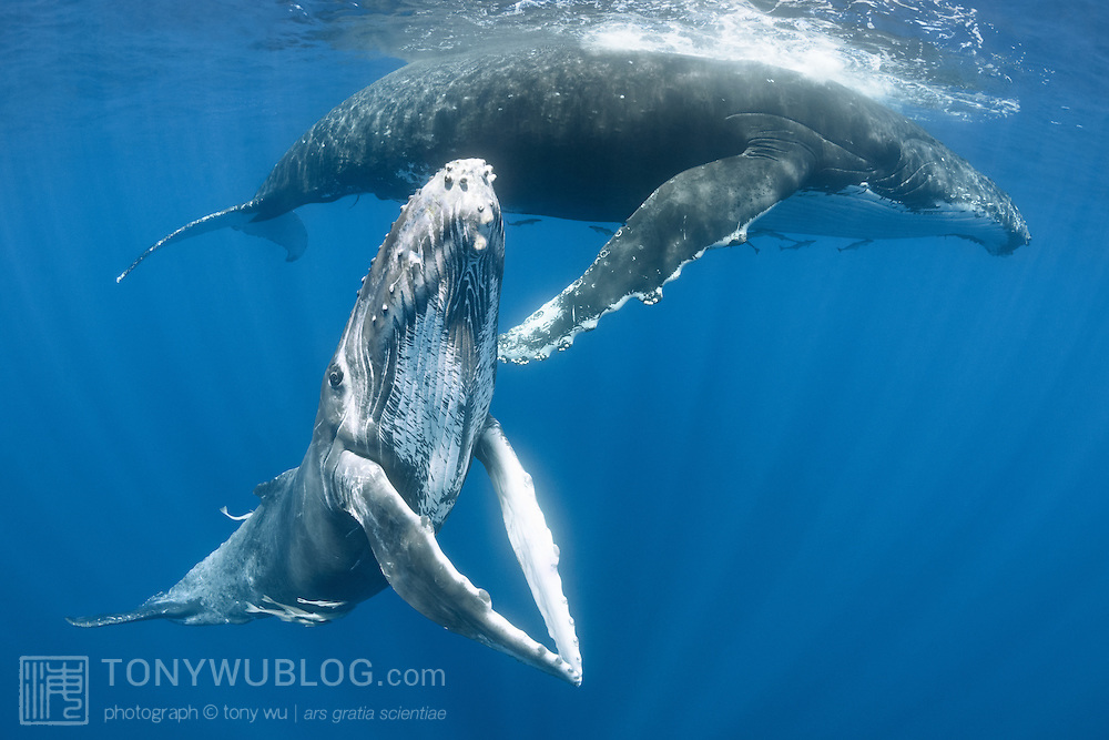 Friendy female humpback whale calf (Megaptera novaeangliae) posing with her pectoral fins held together, with her mother resting in the background.