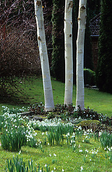 Snowdrops and silver birch trunks - Betula utilis