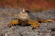 Male land Iguana (Conolophus subcristatus) on South Plaza Island. Galapagos Archipelago, Ecuador.