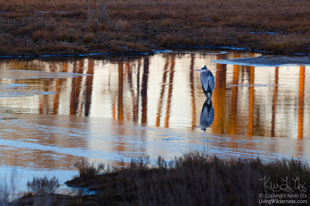 A great blue heron (Ardea herodias) hunts in a thawed-out portion of a pond in the Black Duck Marsh in the Chincoteague National Wildlife Refuge on Assateague Island, Virginia.