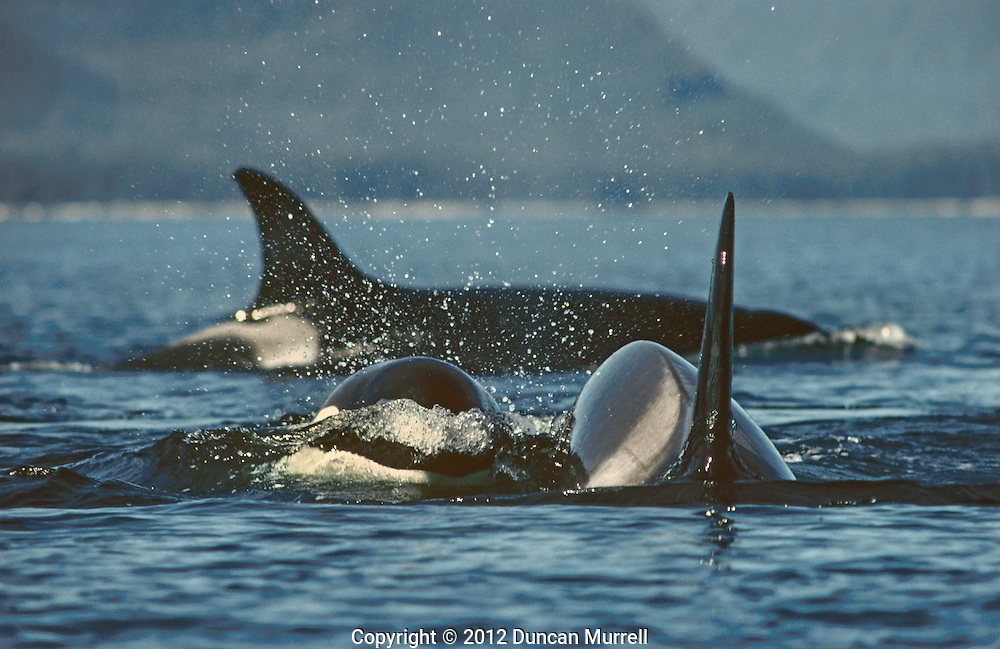 """Pod of orcas (Orcinus orca) cruising in Chatham Strait, Southeast Alaska, USA.<br /> <br /> Encountering orcas was a much rarer event than being with the whales in Southeast Alaska so I always viewed it a special treat and a bonus for the summer. I always felt like I had to shift up into a much higher gear with the faster swimming orcas, and I usually knew that something out of the ordinary was going to happen. Most of pods of orcas I encountered were small transient pods specializing in hunting for marine mammals. On this occasion I was able to paddle many miles with a very large pod of at least 30 individuals that spanned the width of Chatham Strait. It was a beautiful, sunny day and the sea was calm without a puff of wind, which always makes it a bit easier to keep up with them. They appeared to be hunting for salmon by corralling them judging from the way their speed and direction changed periodically. It's fascinating listening to the extensive chatter of orcas; they are much more vocal than the humpbacks and can produce a great range of sounds from clicks, squeals and whistles to what sounds like someone knocking on a door. The most memorable thing that happened on this day involved some young calves, which like the humpback calves were very inquisitive about me. I had just stopped for a rest and was observing the behavior of some of the orcas swimming past. Suddenly two calves popped their shiny black heads out of the water right next to the cockpit of my kayak! They were chattering away at me with their squealing and whistling, and after greeting them with a very surprised """"hello', my next instinct was to pat them on the head like puppies, but they disappeared before I had the chance to do that. <br /> I never ever felt threatened by orcas, even when the big bulls would sometimes swim straight towards me, and they would twist sharply at the last minute just before their tall dorsal fins could slice into me. I'm quite sure that they were only ever inquisitive"""