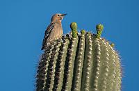 A female Gila Woodpecker, Melanerpes uropygialis, perches on a Saguaro cactus, Carnegiea gigantea, in Papago Park, part of the Phoenix Mountains Preserve near Phoenix, Arizona