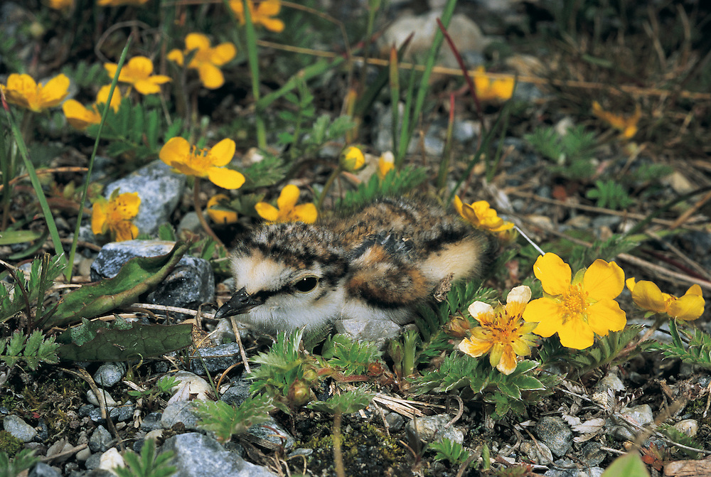 Little Ringed Plover (Charadrius dubius) chick camouflaged on ground<br /> Lake Hovskol<br /> Mongolia