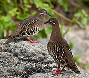 The endemic Galápagos Dove (Zenaida galapagoensis, Columbidae family) lives at Suaraz Point, a wet landing location on Española (Hood) Island, the oldest of the Galapagos Islands, Ecuador, South America. Galápagos Dove habitats include subtropical or tropical dry forests and dry shrubland.