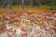 Forest cover in jack pine stand made up of lichens and blueberry in autumn color<br /> near Gogama<br /> Ontario<br /> Canada