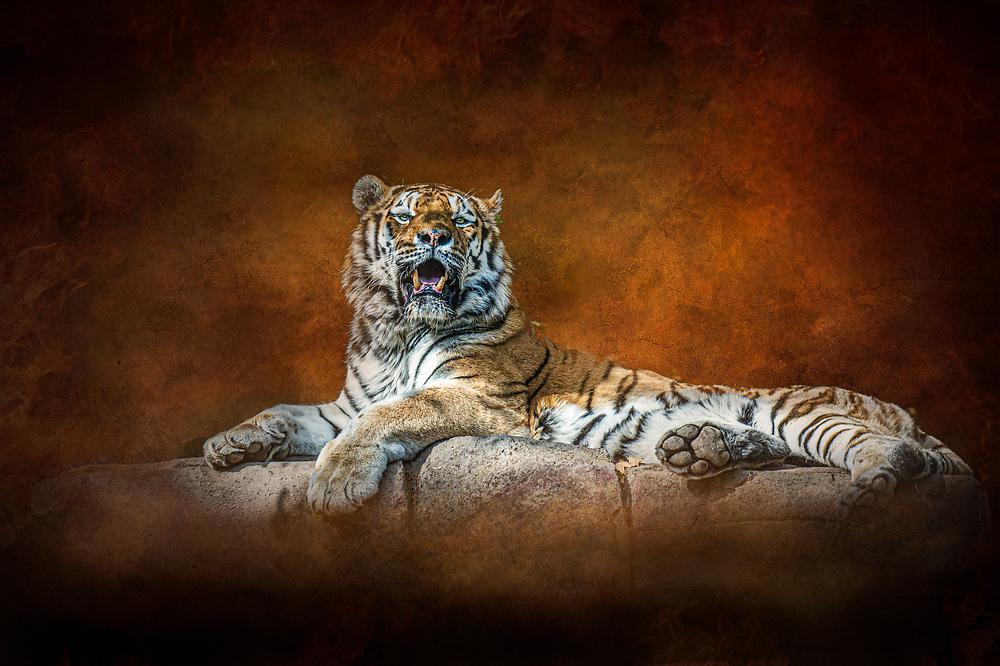 Big Tiger resting on rock shelf