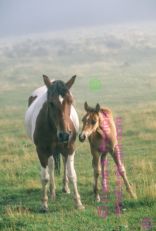 Colt leans affectionately toward his mother, foggy mountain meadow, Jemez Mountains, New Mexico