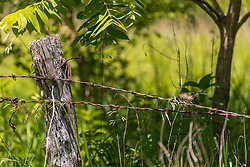 Barbed wire fence wire strung on a wooden hedge fence post surrounded by foilage.