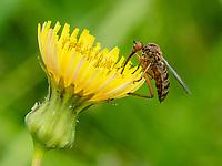 HALFWEG - Akkerdistel Dansvlieg.  insecten op de golfbaan , Amsterdamse Golf Club. (AGC)  . Insecteninventarisatie  COPYRIGHT KOEN SUYK