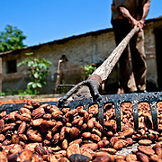 The cocoa beans are laid on what are called drying floors for a period of three to five days during which they are regularly raked over in order to accelerate the drying process. Mazatán, Mexico.