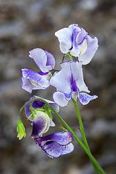 Lathyrus odoratus 'Frances Kate'. Sweet pea