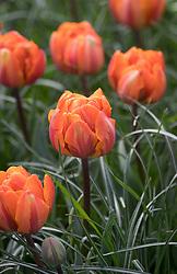 Tulipa 'Orange Princess' AGM