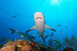 Caribbean Reef Sharks, Carcharhinus perezi, over coral reef, West End, Grand Bahamas, Atlantic Ocean