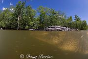 American alligator ( Alligator mississippiensis ) and small fish in freshwater creek, Big Cypress National Preserve, Florida Everglades, U.S.A. ( North America )