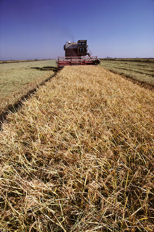 Rice: rice harvest. Richvale, California, USA. 1980.