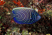 juvenile emperor angelfish, Pomacanthus imperator, Similan Islands, Thailand  ( Andaman Sea - Indian Ocean )