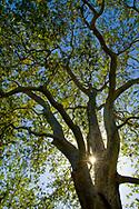 Sunlight through trunk of 100+ year old Sycamore Tree at Linn's Family Farm, near Cambria, California
