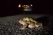 Common toads (Bufo bufo) crossing a road at night on migration to breeding pond. Sussex, UK.