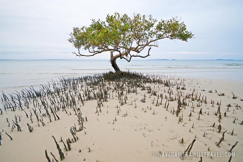 Mangrove on the beach at Fraser Island