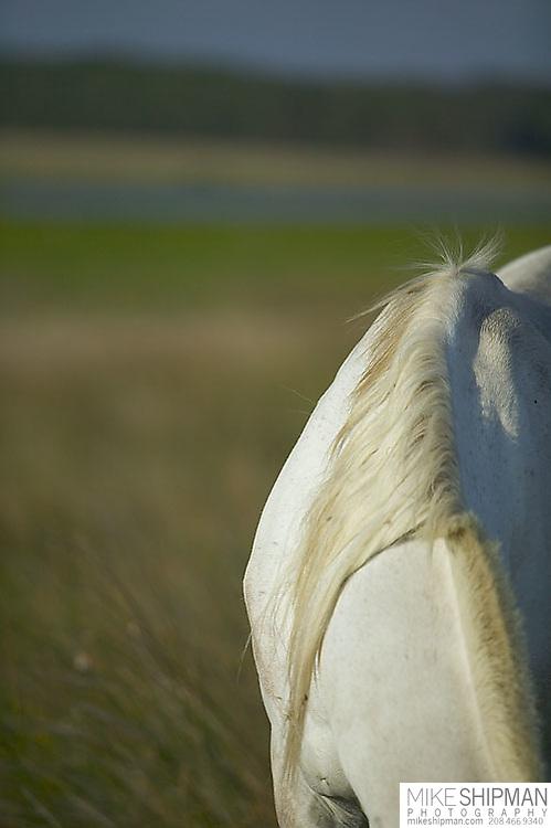 South America, Uruguay, Rocha, Laguna de Rocha, white horse