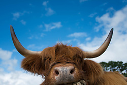 © Licensed to London News Pictures. <br /> 13/08/2014. <br /> <br /> Danby, North Yorkshire, United Kingdom<br /> <br /> A highland cow is tethered to a railing during the Danby Agricultural Show in North Yorkshire. <br /> <br /> This year is the 154th show which was founded in 1848. It is the oldest agricultural show in the area and offers sheep dog trials, judging of a variety of different animals such as cattle, sheep, ferrets, horses and rabbits along with different classes of horticulture and dairy. <br /> <br /> Photo credit : Ian Forsyth/LNP