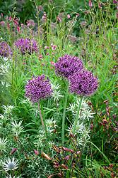 Allium 'Firmament' with Eryngium bourgatii 'Picos Blue', Hemerocallis 'Corky' - Daylily - and sanguisorba