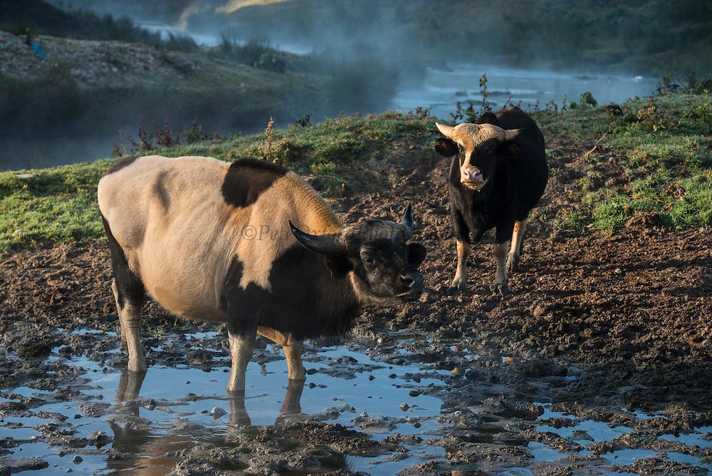 Mithun or domesticated Guar Bos<br /> Arunachal Pradesh<br /> North East India
