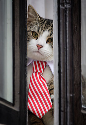 © Licensed to London News Pictures. 14/11/2016. London, UK. A cat belonging to Julian Assange called JAMES, wearing a tie and collar, is seen sitting in the window of the embassy after Swedish officials arrive at the Ecuadorian Embassy in London where they are expected to interview WikiLeaks editor-in-chief, Julian Assange. Assange, who has been living at the embassy for over four years, is wanted for questioning over accusations of rape in Stockholm in 2010.  Photo credit: Ben Cawthra/LNP