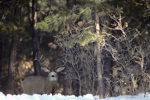 Mule deer (Odocoileus hemionus).  A  large buck stands guard over a doe in estrus in the Rocky Mountains during rut.