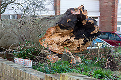 © Licensed to London News Pictures. 17/02/2020. Hanham, South Gloucestershire, UK. Storm Dennis. A large tree has fallen into a block of flats at Grange Court off Hanham High Street, last night 16 February during winds from Storm Dennis. Some branches went through windows into rooms inside including a bedroom. A few people were treated for minor injuries. The tree snapped near its base rather than being uprooted. Photo credit: Simon Chapman/LNP.