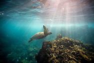 Hawaiian Green Turtle on Maui