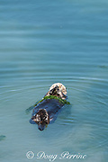 male California sea otter or southern sea otter, Enhydra lutris nereis ( threatened species ) has wrapped itself in green algae (Ulva sp.?) to anchor itself in place while resting, Elkhorn Slough, Moss Landing, California, United States ( Eastern Pacific )