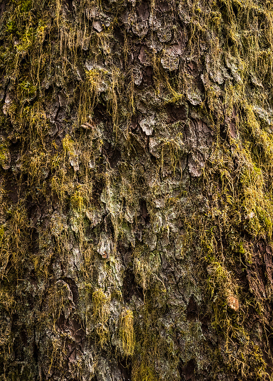 Close-up of Sitka Spruce tree trunk, Olympic National Park, Hoh river trail, Washington, USA.