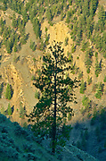 Pine tree in Interior Plateau of Fraser Canyon<br />Near Lillooet<br />British Columbia<br />Canada