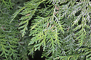 Northern White Cedar Thuja occidentalis (Cupressaceae) HEIGHT to 20m. Broadly conical tree. BARK Orange-brown, peeling in vertical strips. LEAVES Flattened, fern-like sprays of foliage show white, waxy bands below. Crushed leaves smell of apple and cloves. REPRODUCTIVE PARTS Male cones recall those of Western Red Cedar; female cones have rounded tips to cone scales. STATUS AND DISTRIBUTION Native of E North America. Does not thrive here.