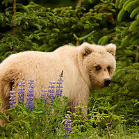Grizzly bear posing before entering the forest in Lake Clark National Park in Alaska.